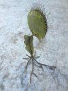 plante geante carnivore (10)