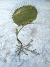 plante geante carnivore (8)