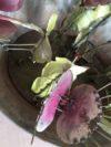 plantes carnivores (11)