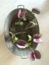 plantes carnivores (9)